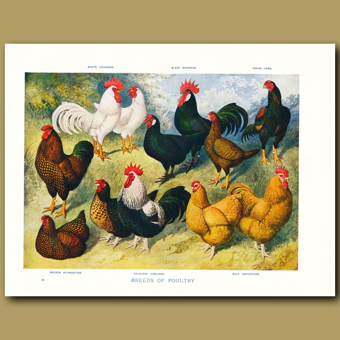 Antique print. Breeds of Poultry