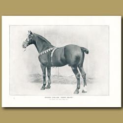 Hackney Stallion, 'Hedon Squire'