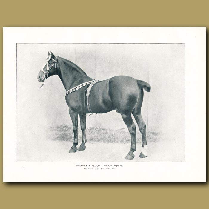 Antique print. Hackney Stallion, 'Hedon Squire'