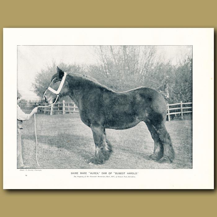 Antique print. Shire Mare, Aurea, Dam of Buscot Harold