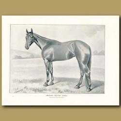 American Trotter Horse, 'Sunol'