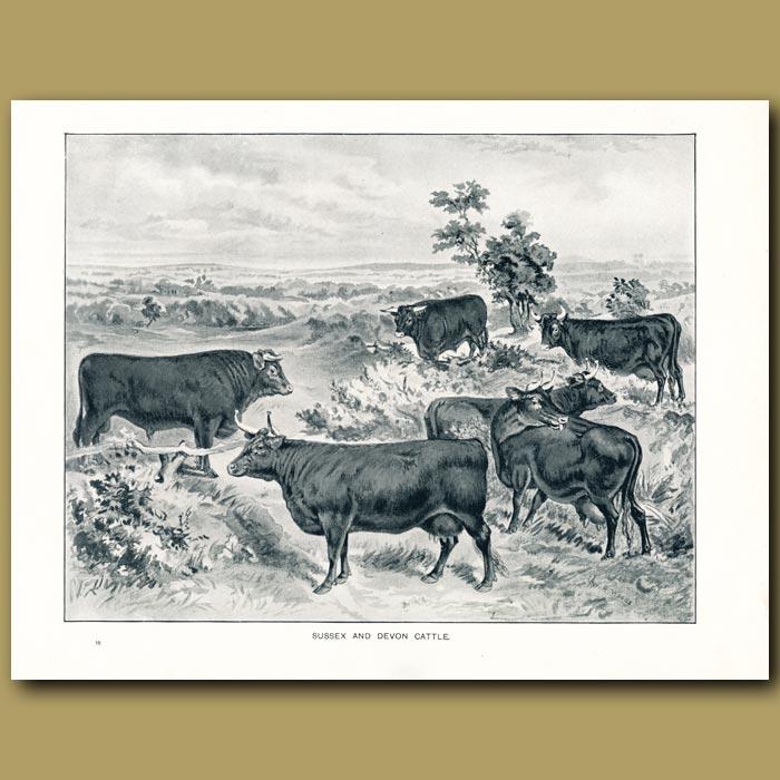 Antique print. Sussex and Devon Cattle