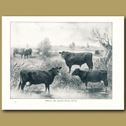 Norfolk and Suffolk Polled Cattle