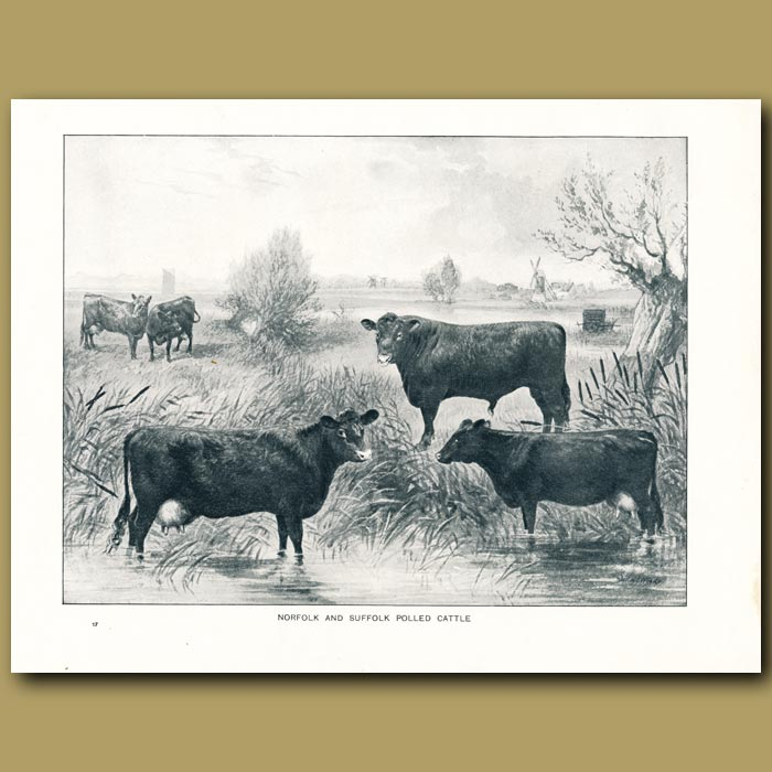 Antique print. Norfolk and Suffolk Polled Cattle
