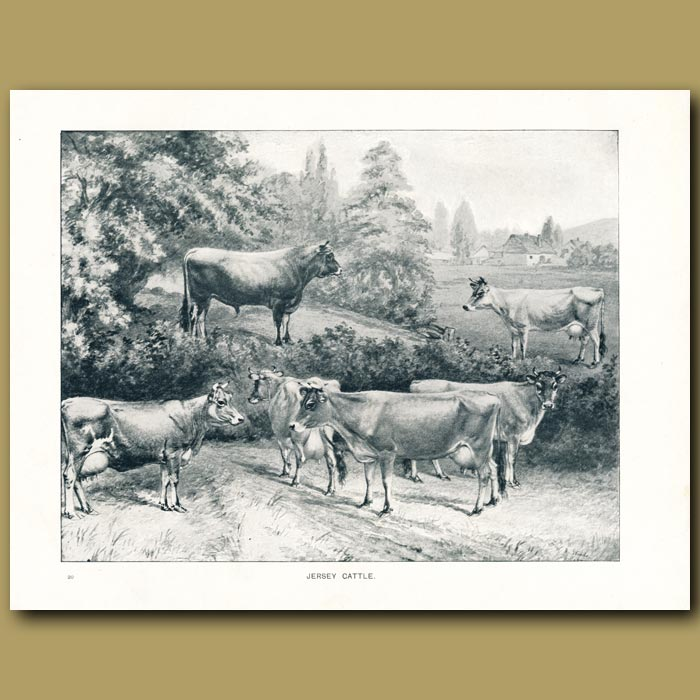 Antique print. Jersey Cattle