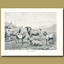 Breeds of Goats