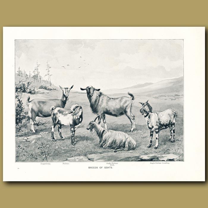 Antique print. Breeds of Goats