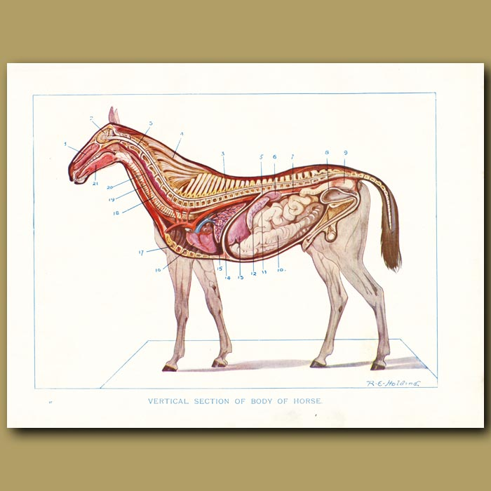 Antique print. Vertical section of body of the horse