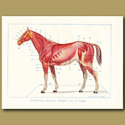 Superficial muscles, tendons etc of the horse