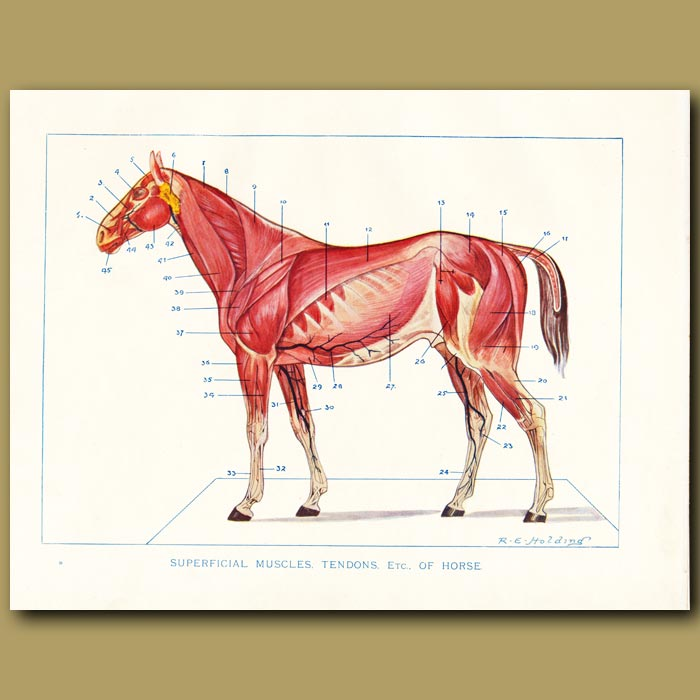 Antique print. Superficial muscles, tendons etc of the horse