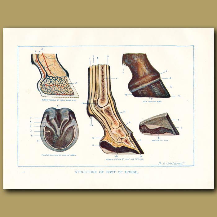 Antique print. Structure of foot of the horse