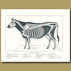 Skeleton of the cow