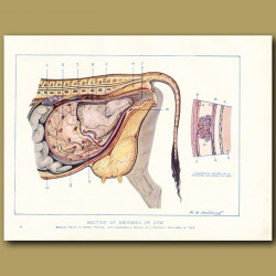 Section of abdomen of the cow