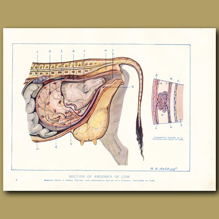 Antique print. Section of abdomen of the cow