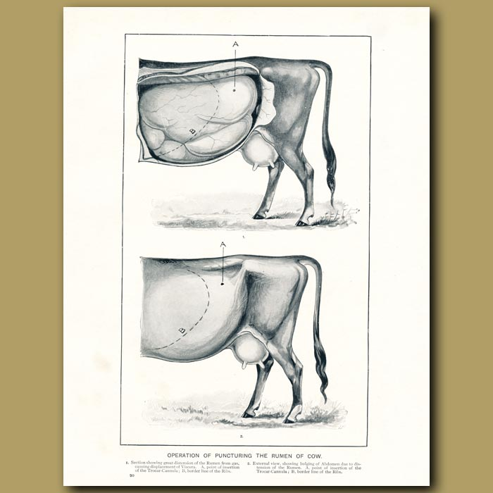 Antique print. Operation of puncturing rumen of the cow
