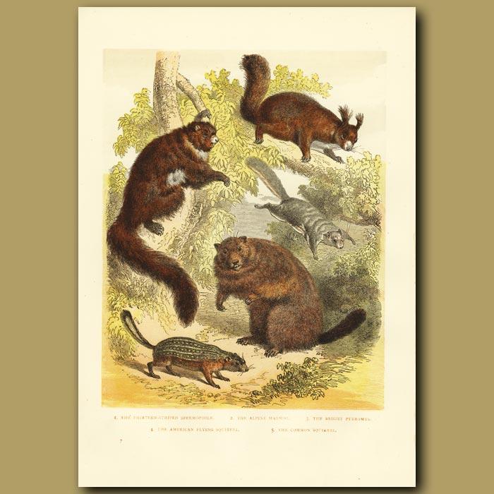 Antique print. American Flying Squirrel, Marmot Etc