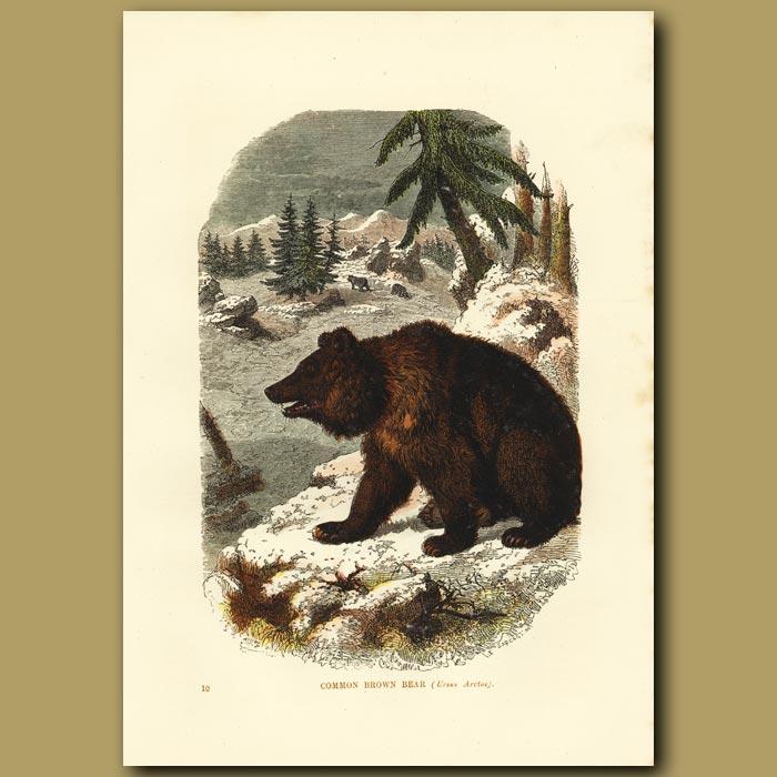 Antique print. Brown Bear