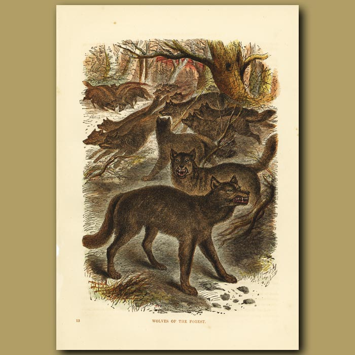 Antique print. Wolves Of The Forest