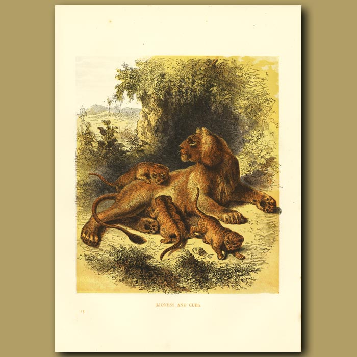 Antique print. Lioness And Cubs