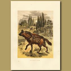 The Striped Hyaena