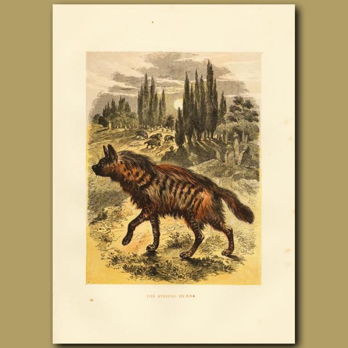Antique print. The Striped Hyaena