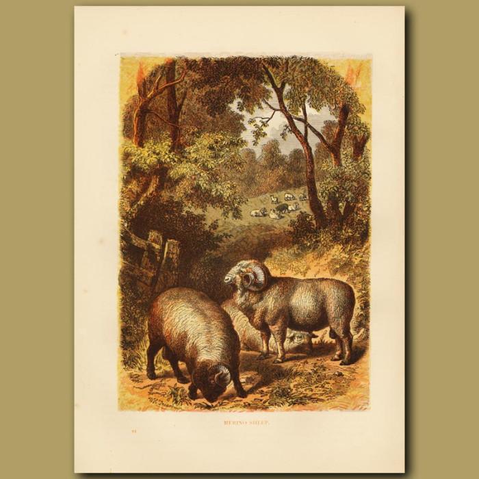 Antique print. Merino Sheep