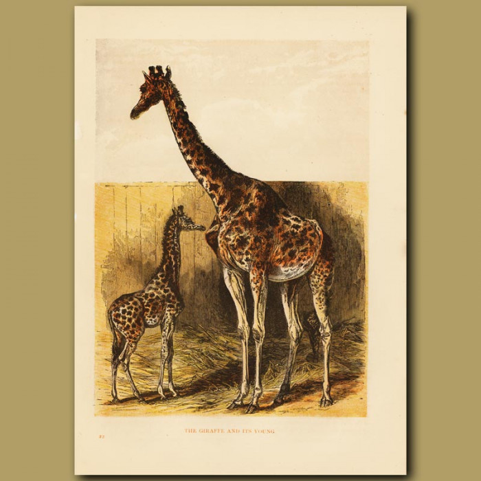 Antique print. Giraffe and Foal