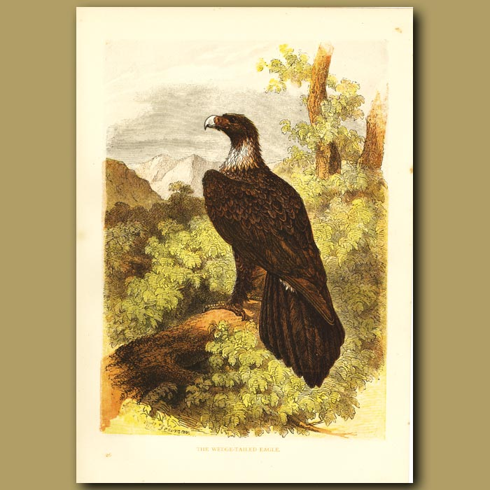 Antique print. The Wedge Tailed Eagle