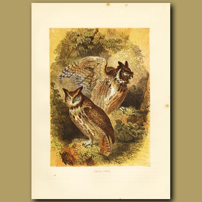 Antique print. Eagle Owls