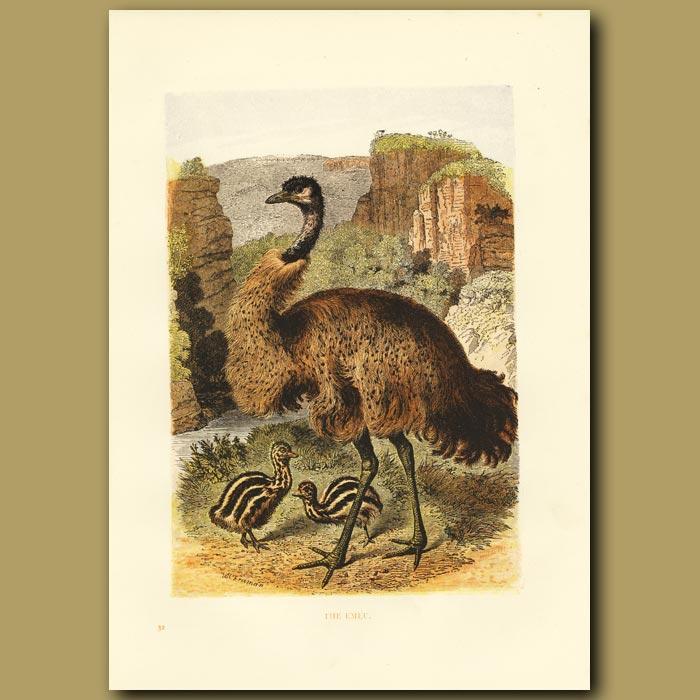 Antique print. The Emu