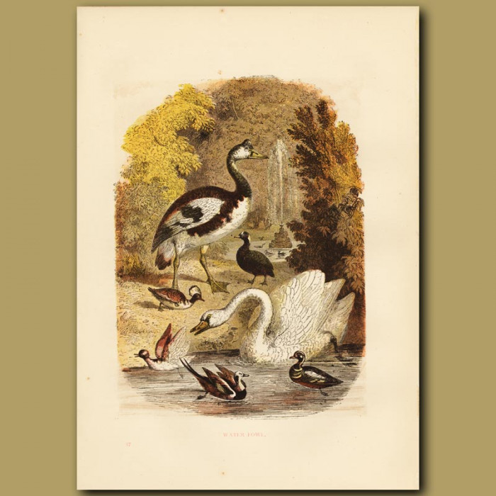 Antique print. Water Fowl
