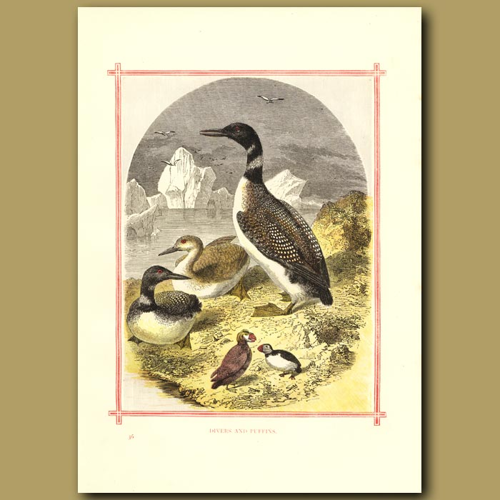 Antique print. Diver And Puffins
