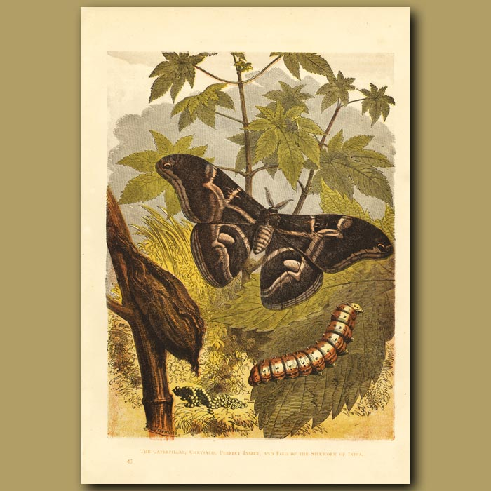 Antique print. The Silkworm And Its Moth
