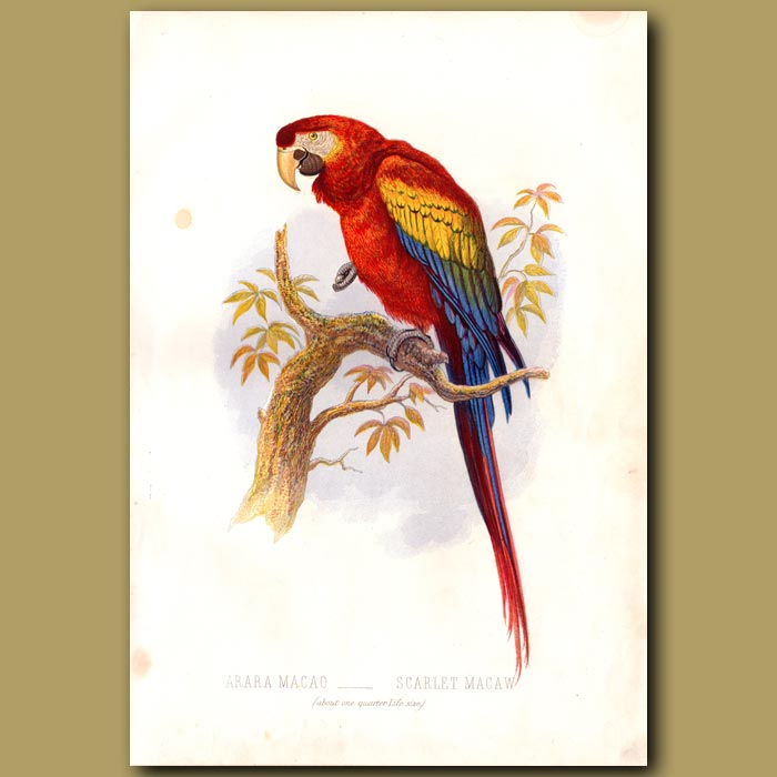 Antique print. The Scarlet Macaw