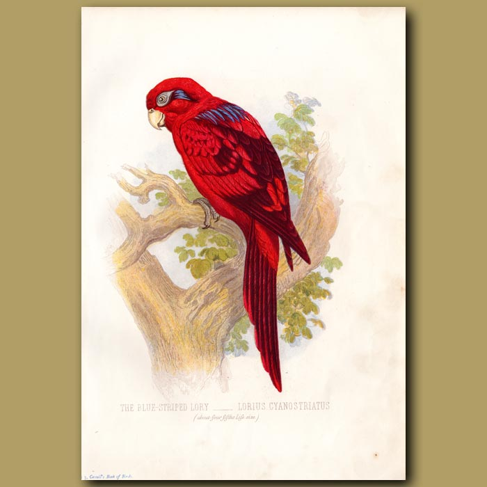 Antique print. The Blue-striped Lory