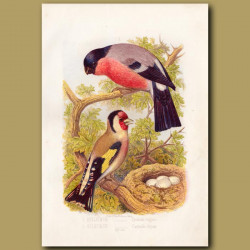 The Bullfinch And Goldfinch