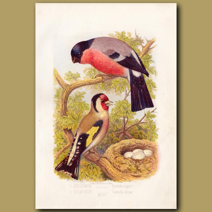 Antique print. The Bullfinch and Goldfinch