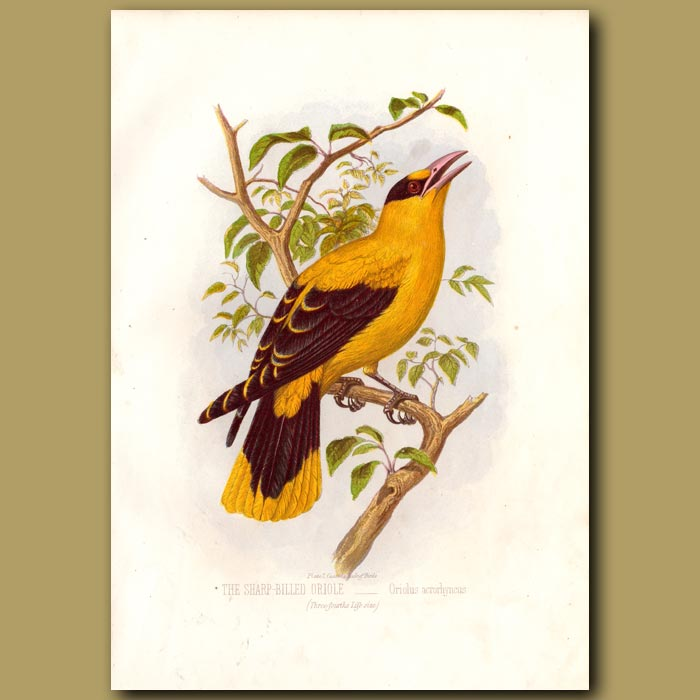 Antique print. The Sharp-billed Oriole Or Philippine Oriole