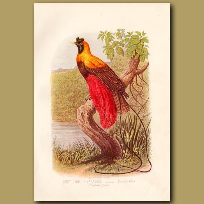 Antique print. The Ruby Bird of Paradise