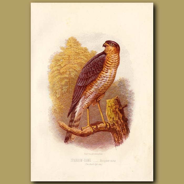 Antique print. The Sparrow Hawk