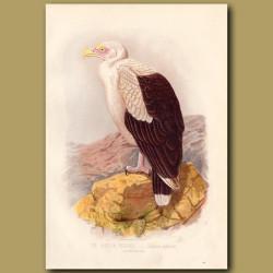 The Angola Vulture