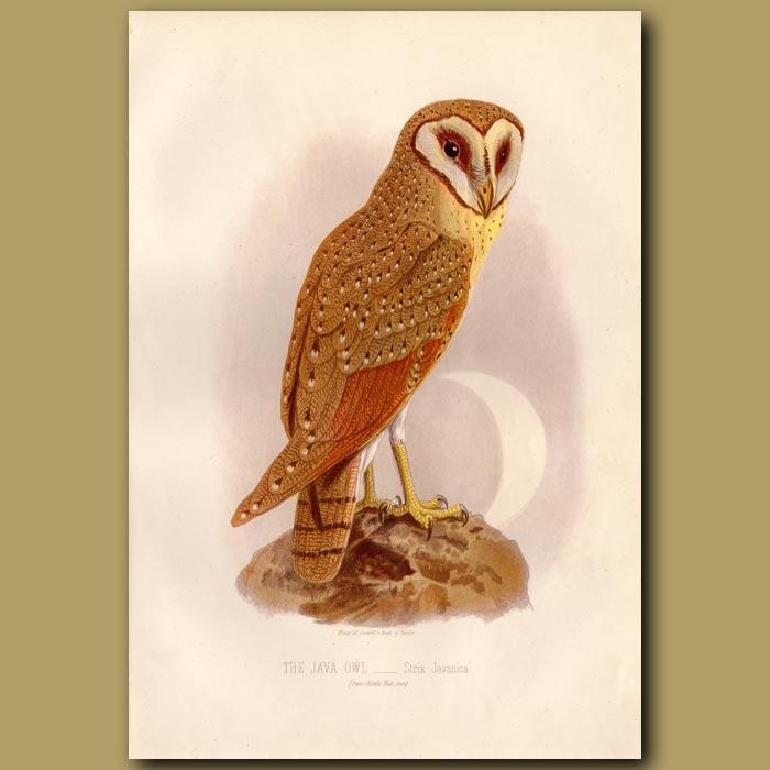 Antique print. The Java Owl