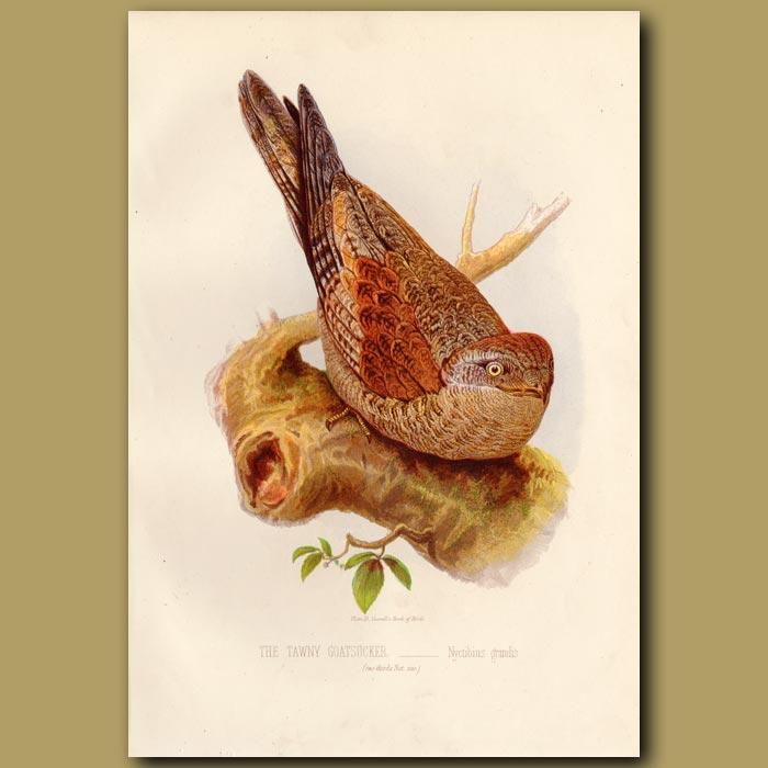 Antique print. The Tawny Goatsucker