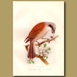 The Red-Backed Shrike