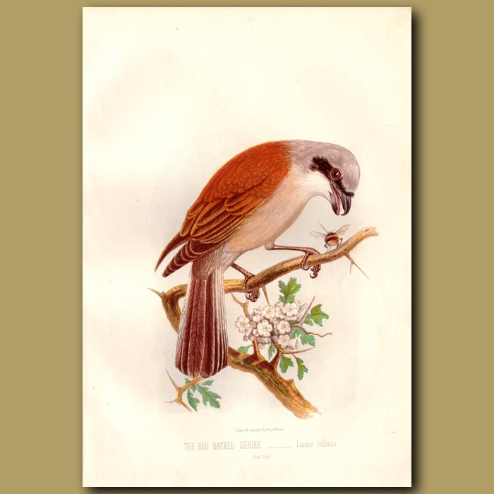 Antique print. The Red-backed Shrike