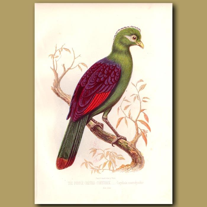 Antique print. The Purple-crested Corythaix (Lourie)