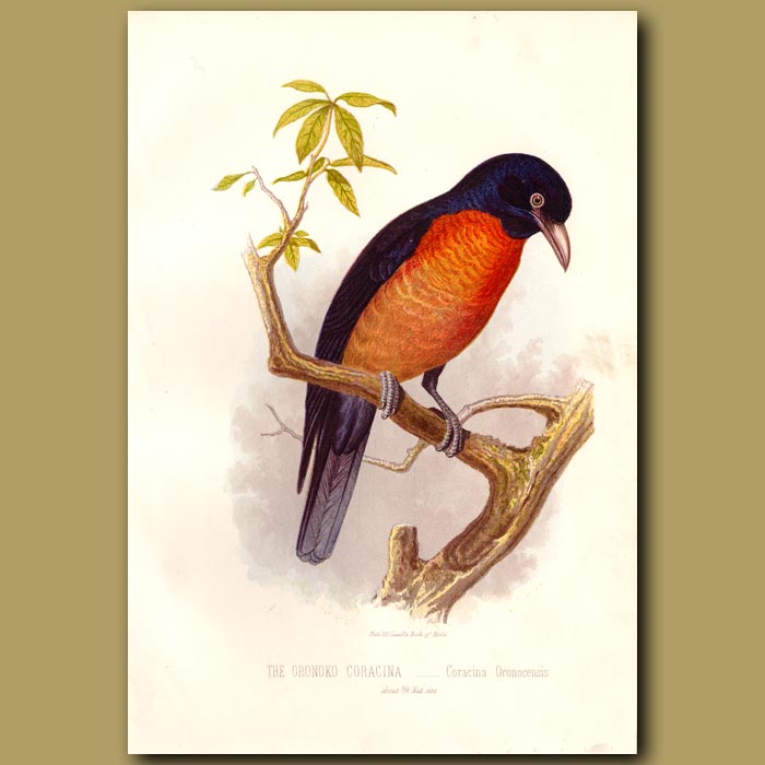 Antique print. The Oronoko Coracina