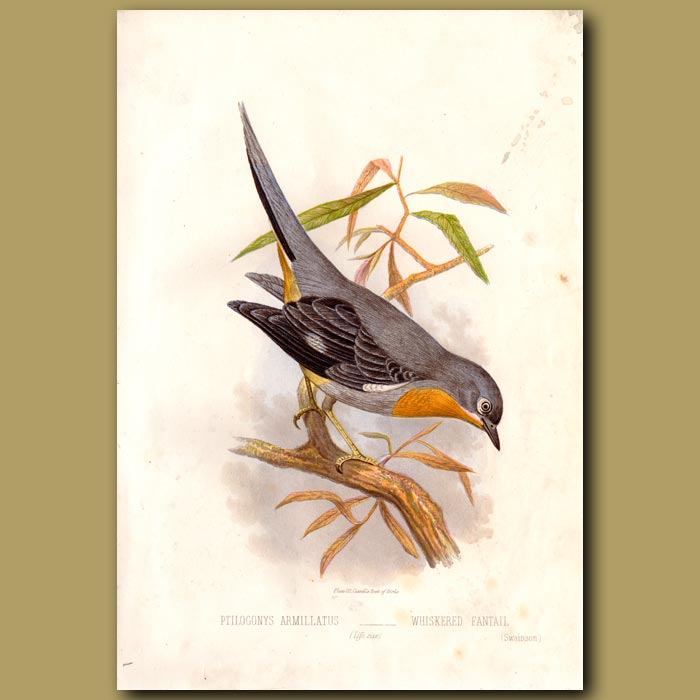Antique print. Whiskered Fantail