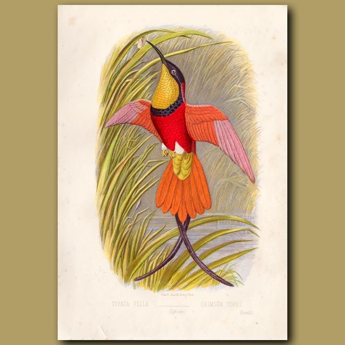 Antique print. Crimson Topaz Hummingbird