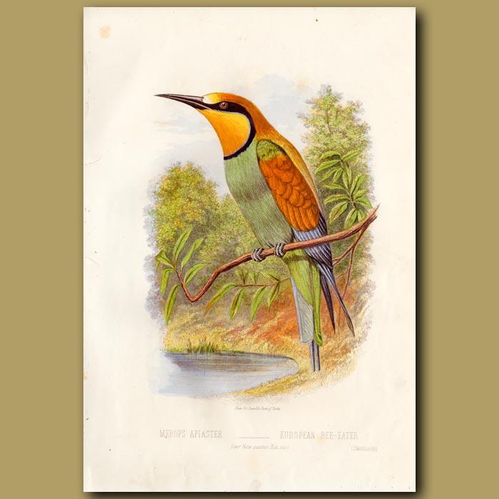 Antique print. European Bee-eater